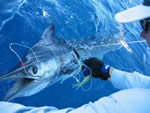 ANGLER: Peter Childs. SPECIES: Blue Marlin. WEIGHT: Tagged, Est. 85 Kg.